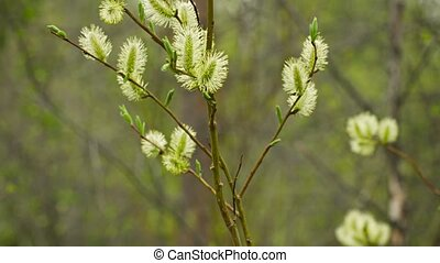 Pussy willow flowers in the northern spring forest - Video...