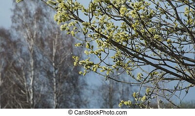 Pussy-willow  - blooming willow springtime