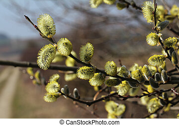 pussy-willow