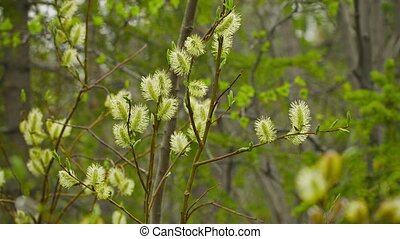 Pussy willow in northern forest - Video 1080p - Pussy willow...