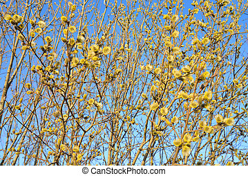 Pussy willow on blue sky.