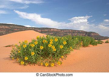 pustynia, wildflowers