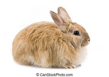 puszysty, królik