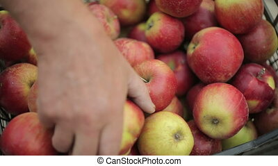 Putting Apples In A Crate