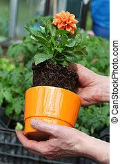 Putting dahlia into flowerpot - Putting dahlia seedling into...