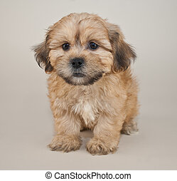 Puzzled Puppy - Cute tan puppy that looks like he is in deep...