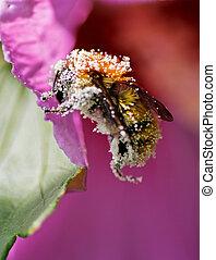 pyłek, platerowany, pszczoła
