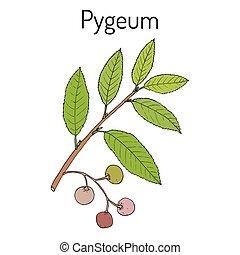 Pygeum Prunus africana , medicinal plant. Hand drawn...