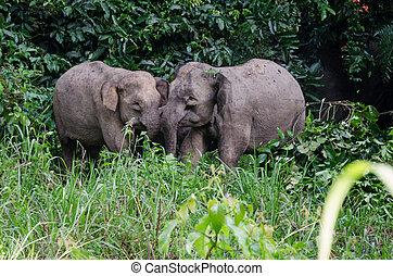 Pygmy Elephants - A family of pygmy elephants in Danum ...