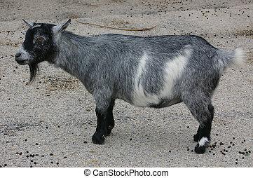 Pygmy Goat 01 - A small pygmy goat.