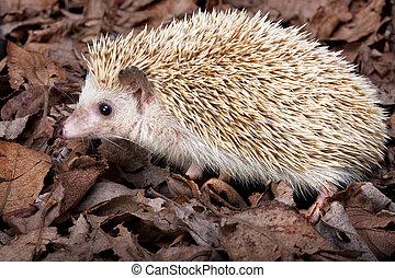 Pygmy hedgehog - African pygmy hedgehog walking in dead ...