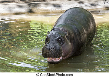Pygmy hippo (Choeropsis liberiensis) - Pygmy hippopotamus (...