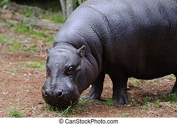 Pygmy hippo looks at camera - Pygmy hippo standing on grass ...