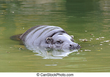 Pygmy hippo swimming in a pool