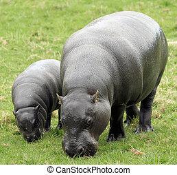 Pygmy Hippopotamus 11 - Pygmy Hippopotamus