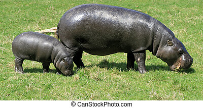 Pygmy Hippopotamus 5 - Pygmy Hippopotamus