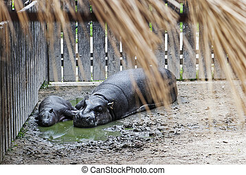 Pygmy Hippopotamus (choeropsis liberiensis) and a baby in a ...
