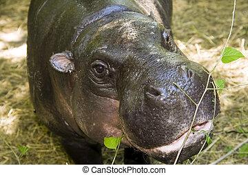 Pygmy hippopotamus (Hexaprotodon liberiensis)