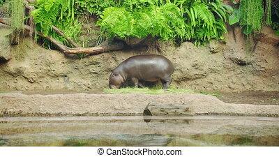 Pygmy hippopotamus near water - Hexaprotodon liberiensis. Liberian Hippo