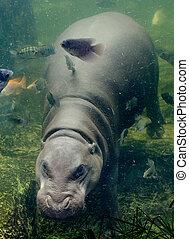 Pygmy Hippopotamus on water tank in zoo