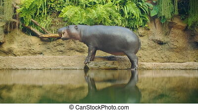 Pygmy Hippopotamus resting near water in a hot summer day