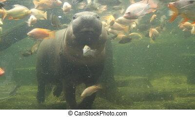 Pygmy Hippopotamus swimming in the Aquarium