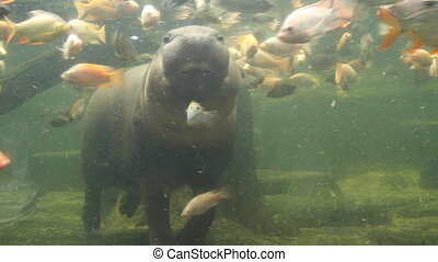 Pygmy Hippopotamus swimming in the Aquarium