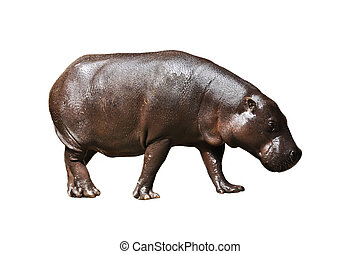 Pygmy hippos are smaller cousins of the hippopotamus.