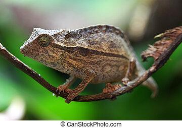 Pygmy Leaf Chameleon - A macro shot of a pygmy leaf ...