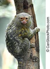 Pygmy marmoset (Cebuella pygmaea) - Pygmy marmoset resting ...
