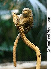 Pygmy Marmoset Monkey, Vancouver, Canada - Pygmy Marmoset ...