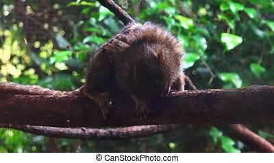 Pygmy marmoset on a tree - Pygmy marmoset (Cebuella pygmaea)...