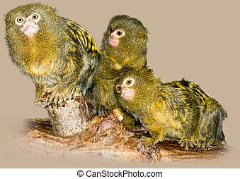 Pygmy marmosets - Group of pygmy marmosets (Callithrix ...