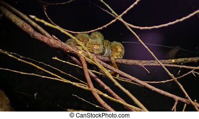 Pygmy marmosets, small species of New World monkey pigmee...