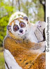 Pygmy slow loris in hand - Pygmy slow loris (Nycticebus ...