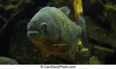 Piranha closeup in the aquarium
