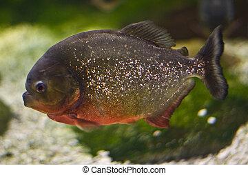 Pygocentrus Nattereri, Red Breasted Piranha
