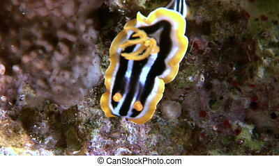 Pyjama slug underwater Red sea. Amazing unique video about...