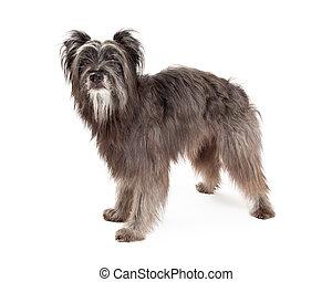 pyrenean, berger, magnifique, chien, debout