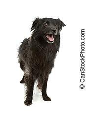 pyrenean, berger, sheepdog, pyrénées, ou