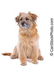 pyrenean, shepherd-pyrenees, sheepdog