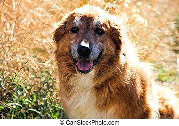 pyreneerna, kors, terapi, hund