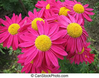 pyrethrum, bloemen, roze, mooi