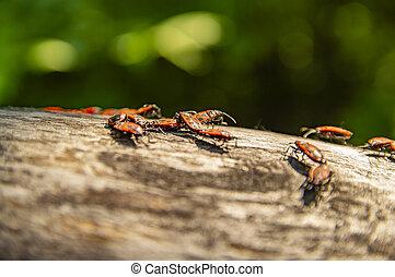 Pyrrhocoris apterus on a tree branch under the sun