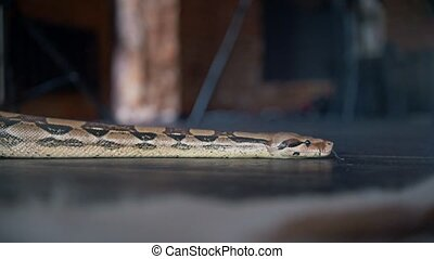 Python crawling on the floor in a studio, close up
