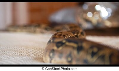 Python crawls on the bed in a studio, close up