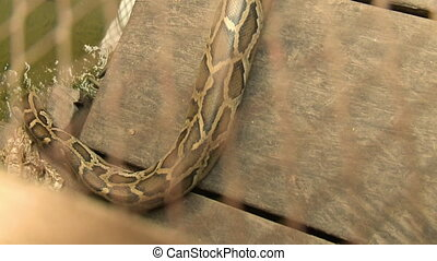 Python hissing and crawling in the water - A hand held, high...