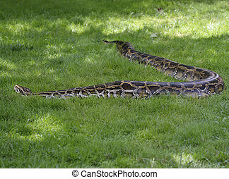 Python In The Grass