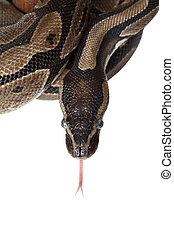 Python snake showing forked tongue closeup - Python snake...