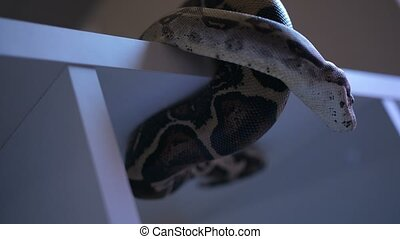 Python snake showing tongue - Python snake sitting on shelf...